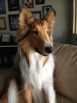 Picture of Ms. Revoir's collie dog named Brady